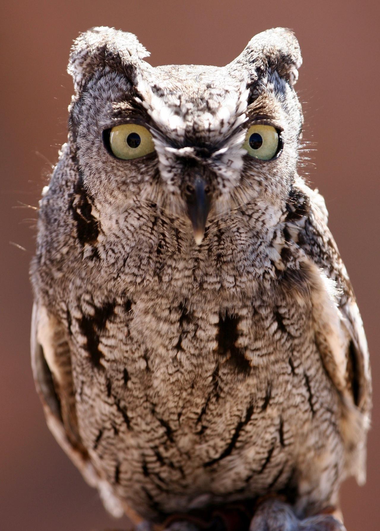 Western Screech Owl ASDM 02-2008