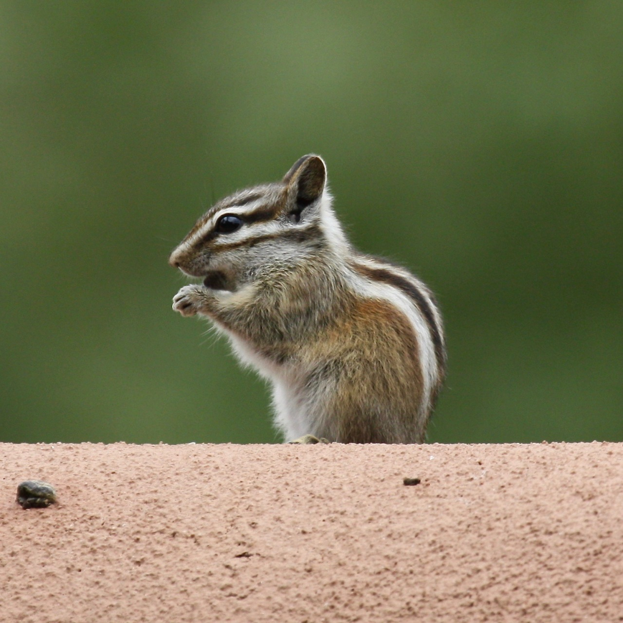 Chipmunk2 Santa Fe NM 06-2010