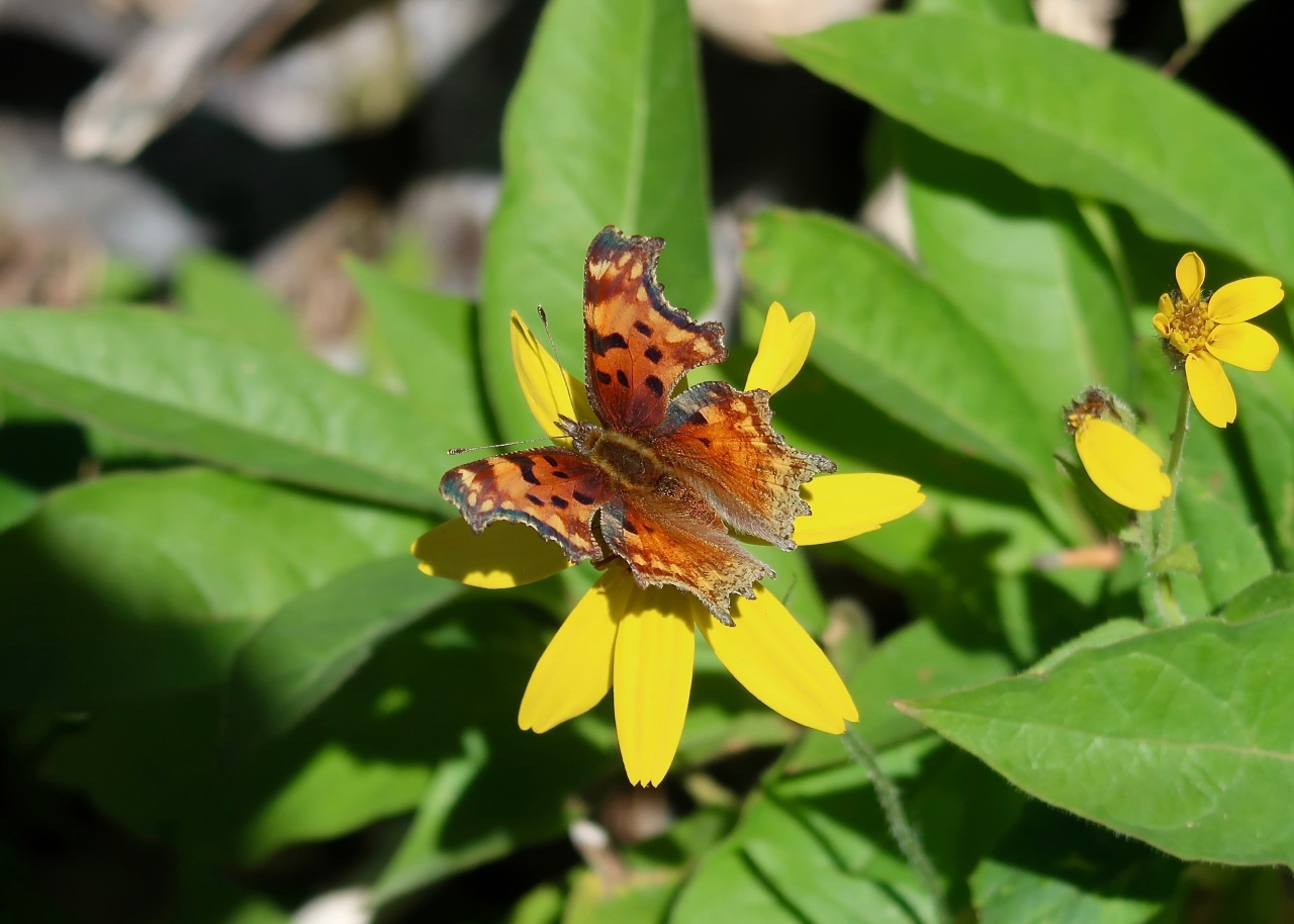 Eastern Comma, Polygonia comma