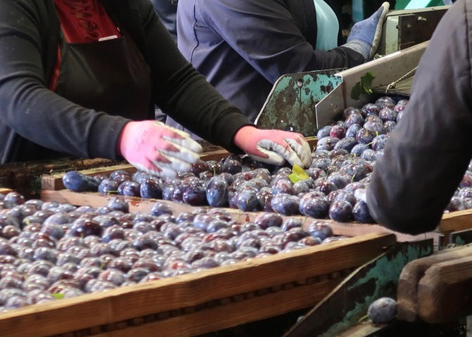 Sorting Prunes