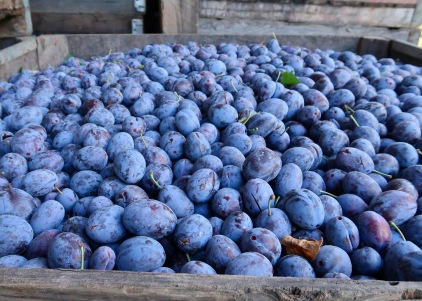 Fresh Picked Prunes