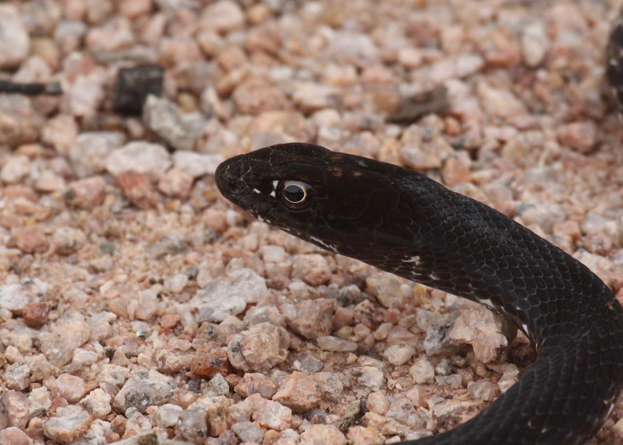 Snake2 RS Tucson AZ 08-2014