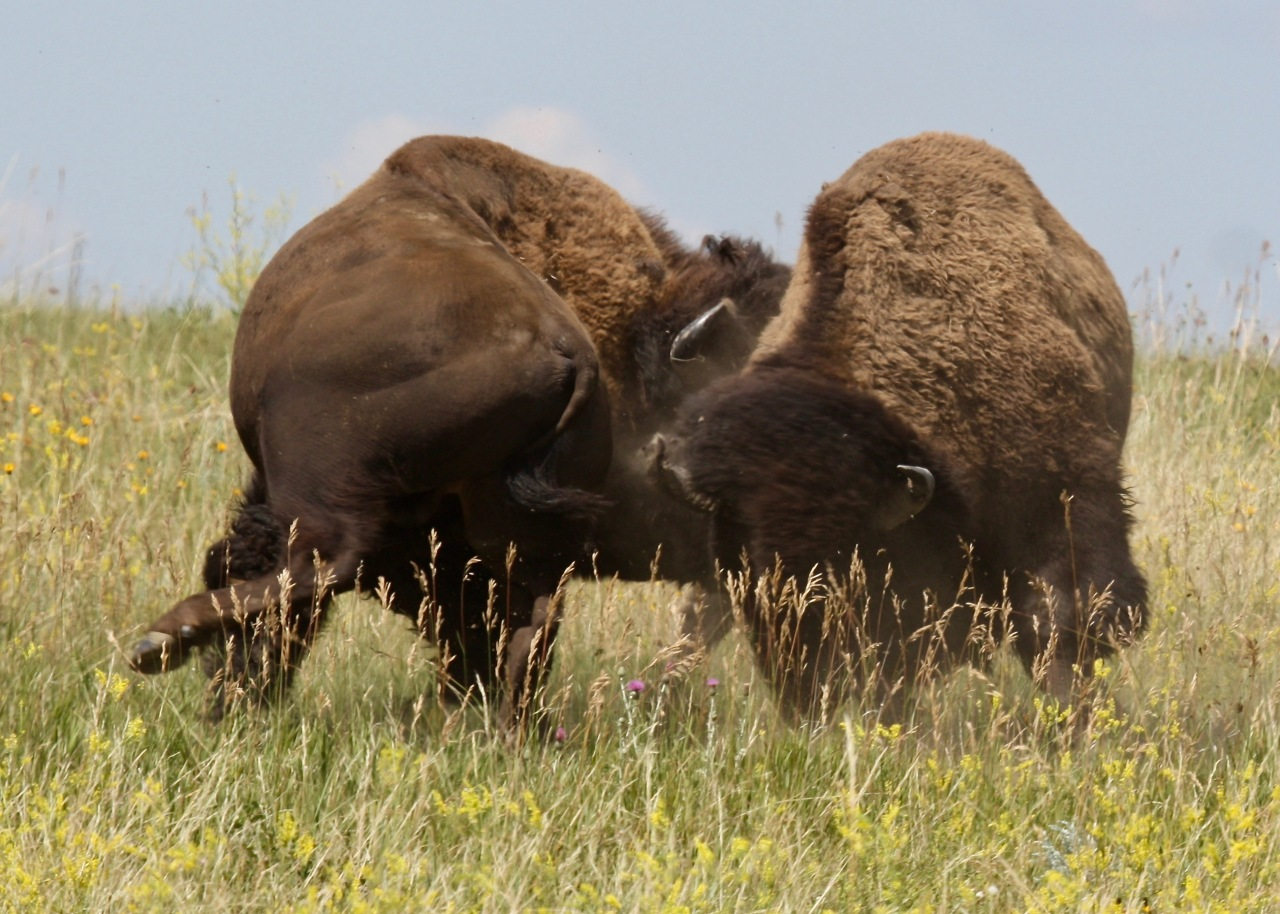 Bison Battle 5