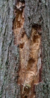 Obviously, a Pileated Woodpecker Lives Here