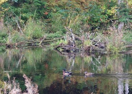 Wood Ducks on the Pond