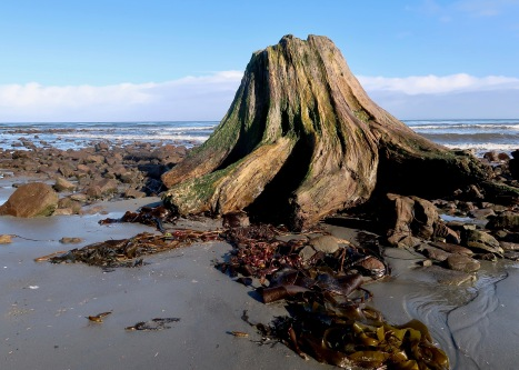 Waterlogged Stump at Shipwreck Point