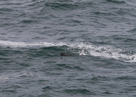 Sea Otter at Cape Flattery