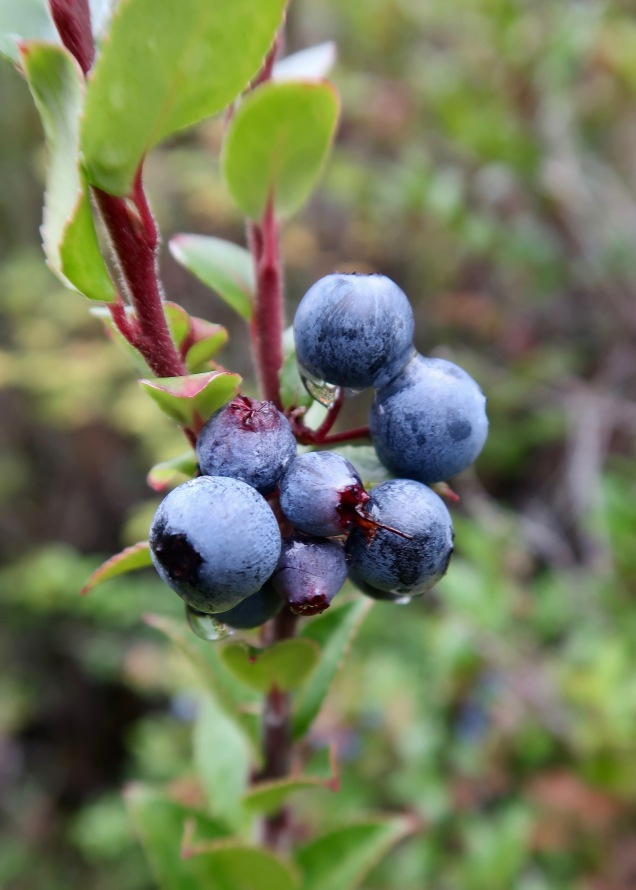 Ripe Huckleberries