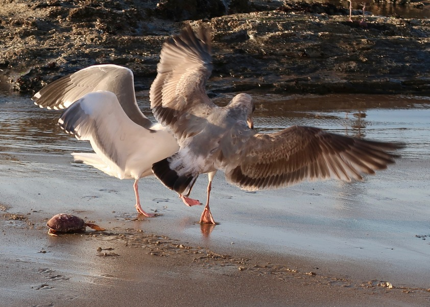 Gull Battle Over Crab