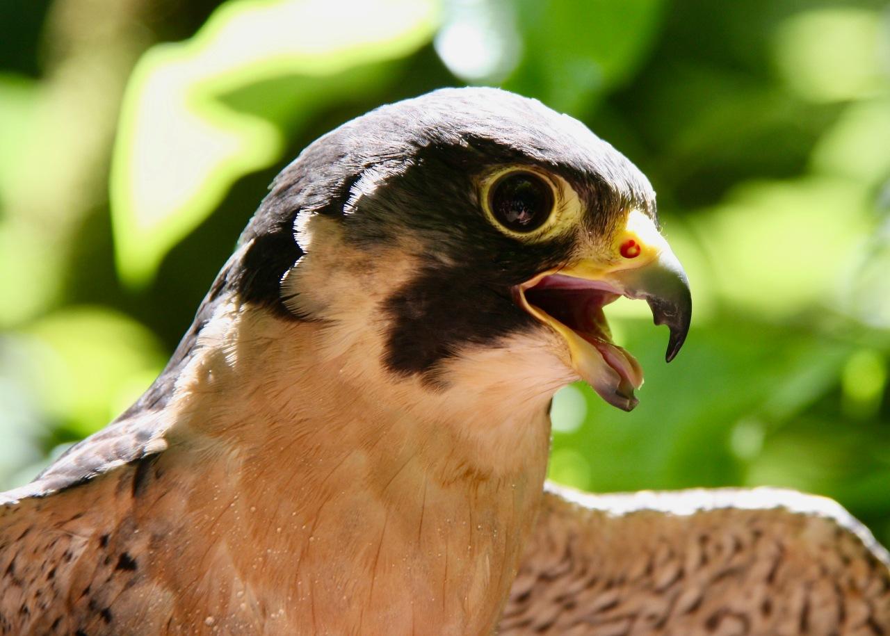 Peregrine Falcon2 Portland Audubon OR 06-2012