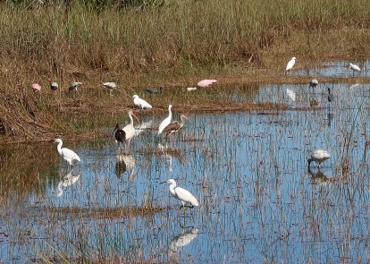 Wading Birds: Roseate Spoonbill, Great Egret, White Ibib, Wood Stork, Tricolored Heron