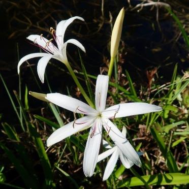 Florida Swamp Lily (Crinum americanum)