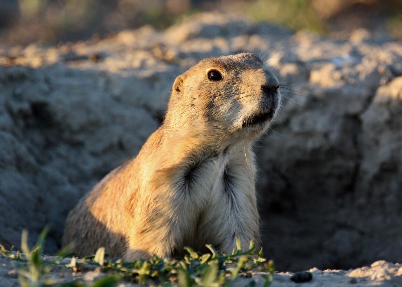 Wary Prairie Dog (Cynomys ludovicianus)