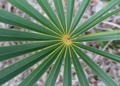 Heart of Palm Frond