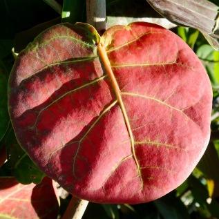 Red, Sea Grape Leaf