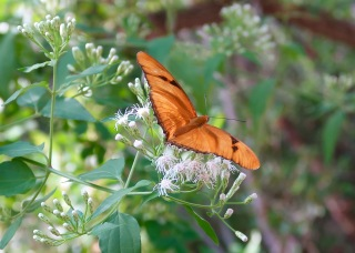 Julia Butterfly, Female (Dryas iulia)