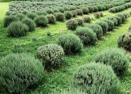 Varieties of Lavender