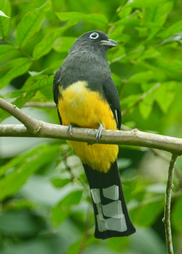 Black-headed Trogon - F