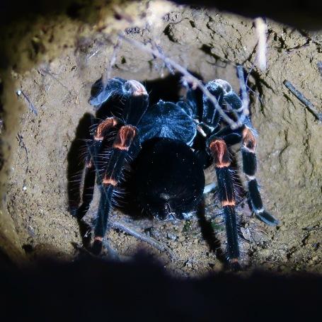 Costa Rican Orange-kneed Tarantula