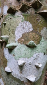 Pochite Trunk Closeup (Pachira quinata)