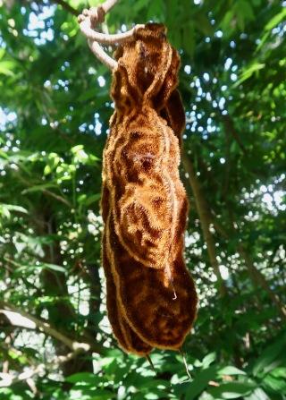 Mucuna sloanei Seed Pod