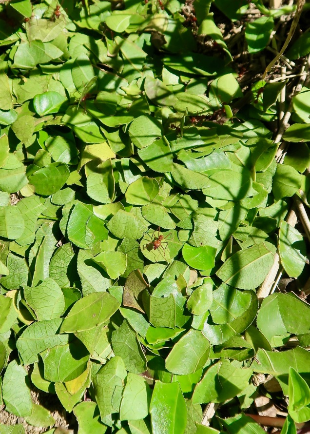 Leafcutter Ant Stockpile