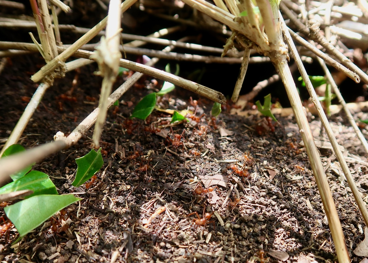 Leafcutter Ants Entering Nest