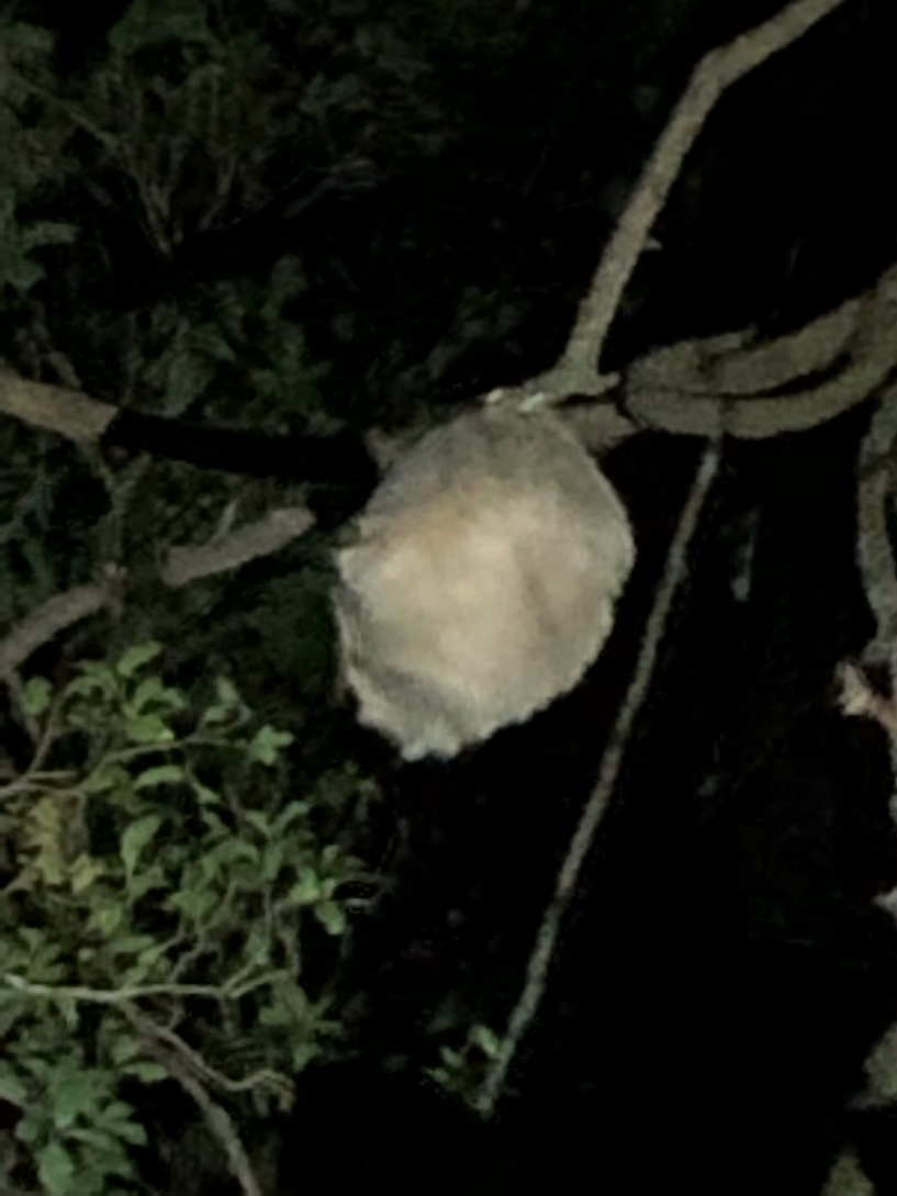 Sleeping Two-toed Sloth