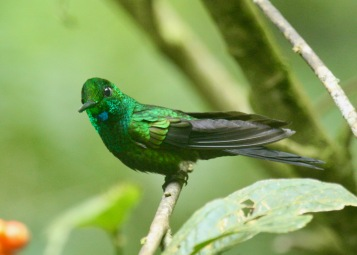 Green-crowned Brilliant - M (Heliodoxa jacula)