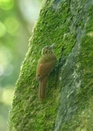 Streak-headed Woodcreeper (Lepidocolaptes souleyetii)