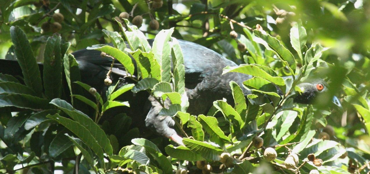 Black Guan (Chamaepetes unicolor)