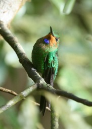 Green-crowned Brilliant - juv (Heliodoxa jacula)