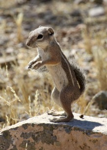Harris's Antelope Ground Squirrel, Tucson, Arizona 2010