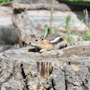 Squirrel1 stump Santa Fe NM 07-2010