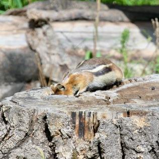 Squirrel2 stump Santa Fe NM 07-2010