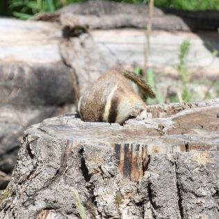 Squirrel3 stump Santa Fe NM 07-2010