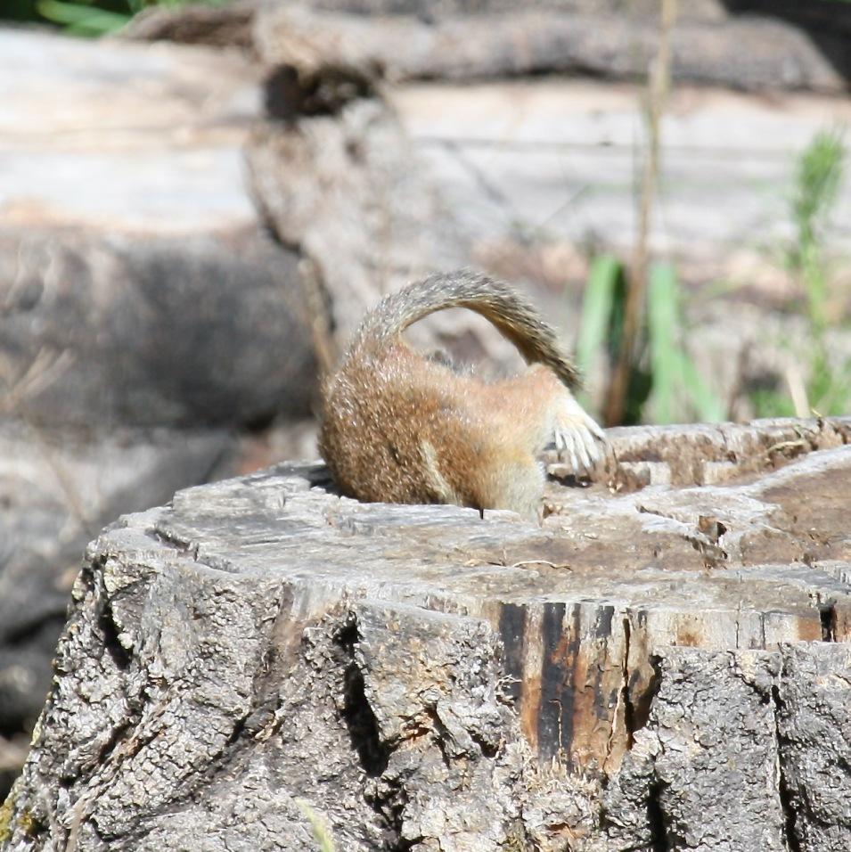 Squirrel4 stump Santa Fe NM 07-2010