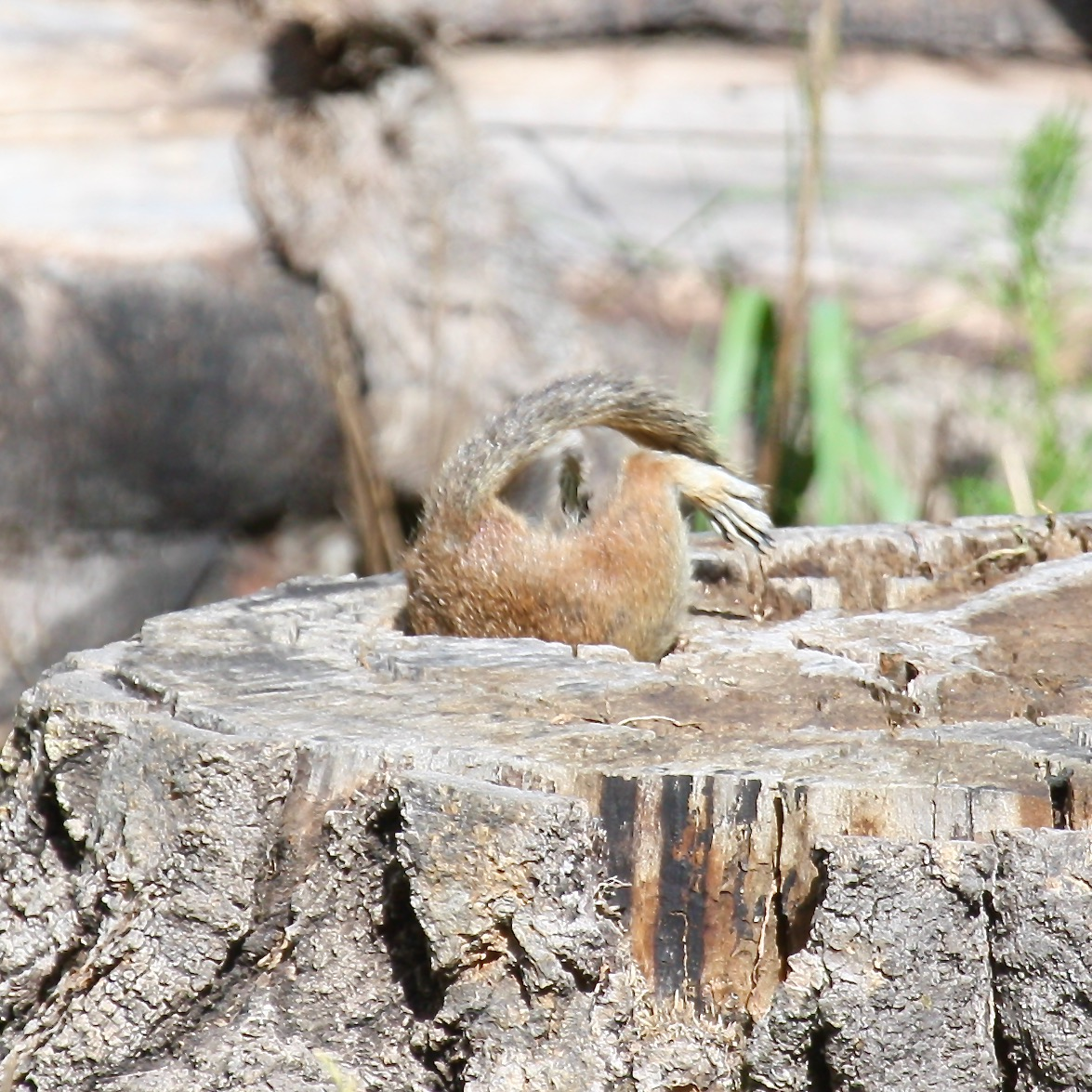 Squirrel5 stump Santa Fe NM 07-2010