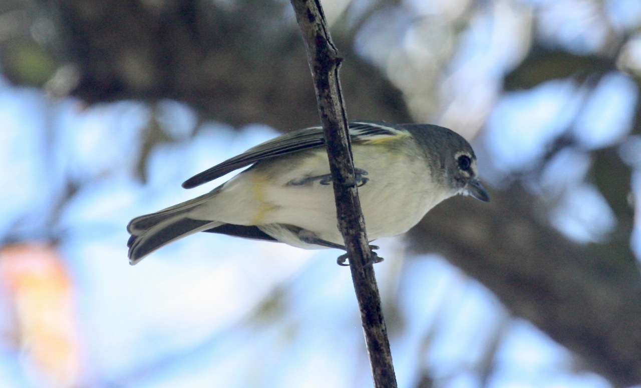 Blue-headed Vireo (Vireo solitarius)