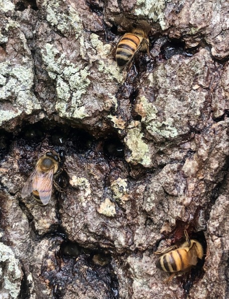 Bees Sipping Sap