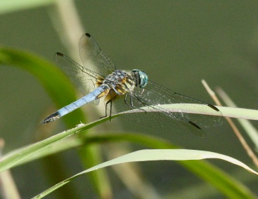 Blue Dasher - M