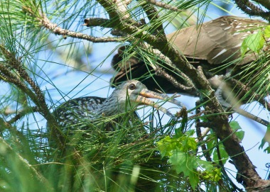 Limpkins on Nest
